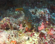 Bluespot toby feeding, Canthigaster solandri, UP10837 Stock Footage