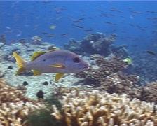 Onespot seaperch swimming, Lutjanus monostigma, UP10846 Stock Footage