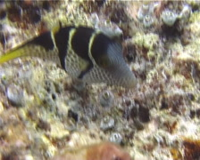 Black-saddle toby swimming, Canthigaster valentini, UP10824 Stock Footage