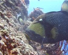 Titan triggerfish feeding, Balistoides viridescens, UP10810 Stock Footage