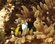 Juvenile Orangefin anemonefish at dusk, Amphiprion chrysopterus, UP10859 Stock Footage