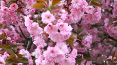 Sakura. Beautiful Pink Flowers Stock Footage