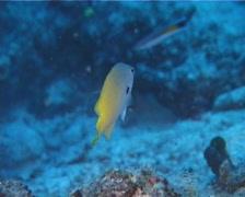 Black-margined damsel hovering, Pomacentrus nigromarginatus, UP10867 Stock Footage