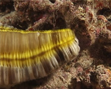 Feathermouth sea cucumber behaving strangely at night, Euapta godeffroyi, - stock footage