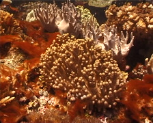Ghost coral behaving strangely, Cladiella sp. Video 10932. - stock footage
