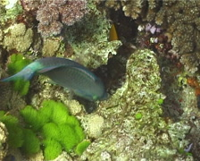 Male adult Bullethead parrotfish feeding, Chlorurus sordidus, UP10942 Stock Footage