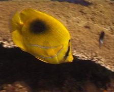 Bennett's butterflyfish feeding, Chaetodon bennetti, UP10949 Stock Footage