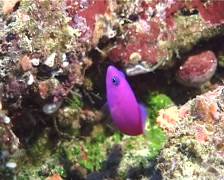 Strawberry dottyback hovering, Pictichromis porphyrea, UP10958 Stock Footage