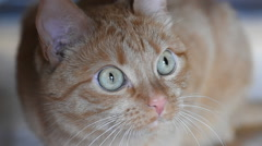 Ginger cat sitting on the floor and stares into the camera - stock footage