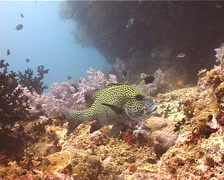 Many spotted sweetlips hovering, Plectorhinchus chaetodonoides, UP10990 Stock Footage