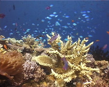 Ocean scenery beautiful reef, hard coral, damsels, on shallow coral reef, Stock Footage