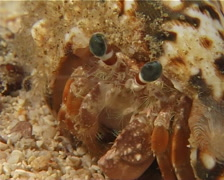 Banded eyestalk hermit crab walking at night, Dardanus pedunculatus, UP11008 Stock Footage