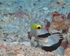 Yellownose shrimpgoby hiding, Stonogobiops xanthorhinica, UP11038 Stock Footage