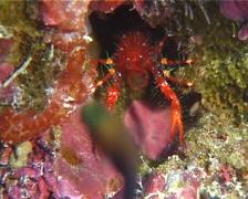 Clown crab, Neomunida olivarae, UP11047 Stock Footage
