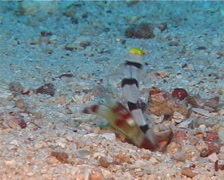 Yellownose shrimpgoby feeding, Stonogobiops xanthorhinica, UP11039 Stock Footage