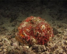 Reef stonefish at night, Synanceia verrucosa, UP11065 Stock Footage