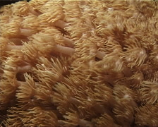 Unidentified daytime coral feeding at night, Goniopora sp. Video 11067. Stock Footage