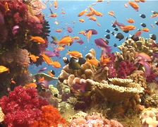 Ocean scenery beautiful reef, anthias, hard and soft corals, on coral reef, - stock footage