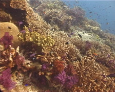 Ocean scenery hard coral garden, on shallow coral reef, UP11087 Stock Footage