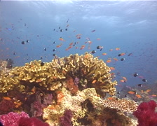 Ocean scenery damsels, soft corals, on shallow coral reef, UP11089 Stock Footage