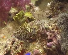 Honeycomb grouper swimming, Epinephelus merra, UP11090 Stock Footage