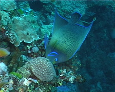 Semicircle angelfish feeding, Pomacanthus semicirculatus, UP11096 Stock Footage