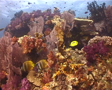 Ocean scenery beautiful reef, soft corals, fans, currnet, butterflyfish, Stock Footage