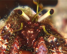 Longeye hermit crab feeding, Dardanus lagopodes, UP11106 Stock Footage