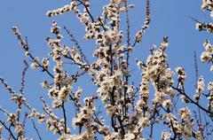 Spring Flowering Apricot Tree Stock Photos