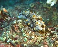 Juvenile Black tentacle sea cucumber defecating, Bohadschia graeffei, UP11117 Stock Footage