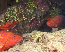 Coral cod face-off, Cephalopholis miniata, UP11134 Stock Footage