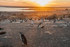 Magellanic Penguins, early morning at Punto Tombo, Patagonia, Argentina - stock photo