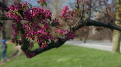 Prospect Park in Springtime. Flowering Trees in Prospect Park. Stock Footage