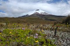 Cotopaxi volcano over the flowering plateau, Andean Highlands of Ecuador, Sou - stock photo