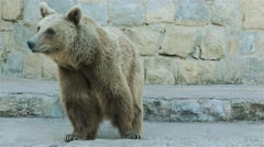 4k brown bear (Ursus arctos) - stock footage