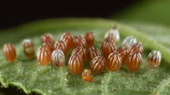 Eggs of the Gulf fritillary, (Agraulis vanillae). A heliconid butterfly whose la Stock Footage