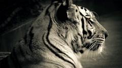 Tiger With Glowing Orange Eyes Stock Footage