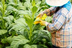 Thai woman put Insecticide and fertilizer in tobacco plant Stock Photos