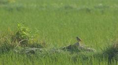 Pied bushchat bird resting on soil pile Stock Footage