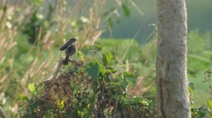 Pied bushchat bird relaxing on the plant shoot Stock Footage
