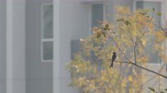 Black drongo flying from the tree branch Stock Footage