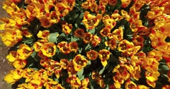 Bed of tulips growing in spring Stock Footage