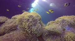 Reef St. Johns. Symbiosis of clown fish and anemones. - stock footage