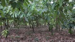 Trees in cocoa plantation, Ilheus, Brazil Stock Footage