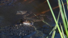 European common frog floating among frogspawn in pond Stock Footage
