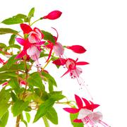 beautiful blooming branch of red and white fuchsia flower is isolated on back - stock photo