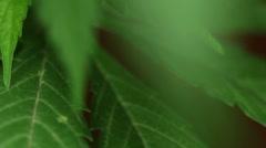 Green Cannabis leaf, macro tilting Stock Footage