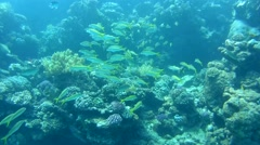 School of yellowfin goatfish(Mulloidichthys vanicolensis) Stock Footage