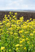 Yellow blooms of canola and arable field Stock Photos