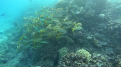 School of yellowfin goatfish (Mulloidichthys vanicolensis) Stock Footage